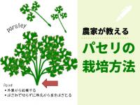 農家が教えるパセリの栽培方法 栄養たっぷり! 長く収穫できる育て方