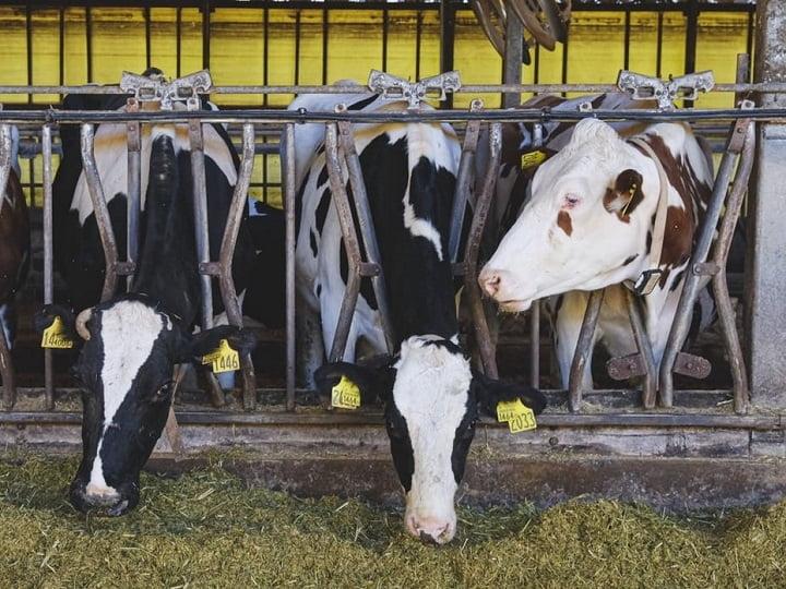 餌をたべる牛