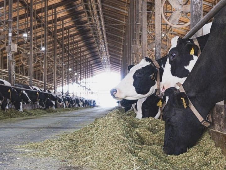 餌を食べる牛