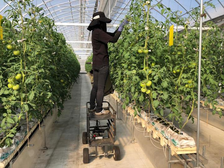 トマトの栽培ハウス