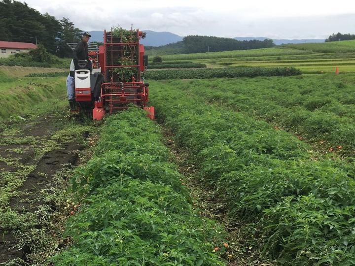 コロナ禍での水田転作品目に。加工用トマト機械収穫栽培の可能性