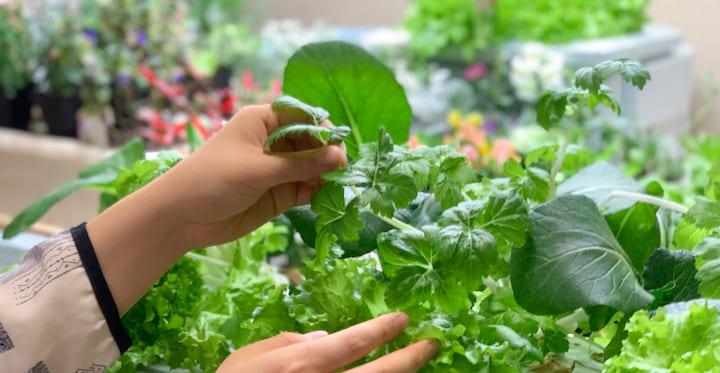 室内でLEDを利用して野菜を栽培、収穫している写真
