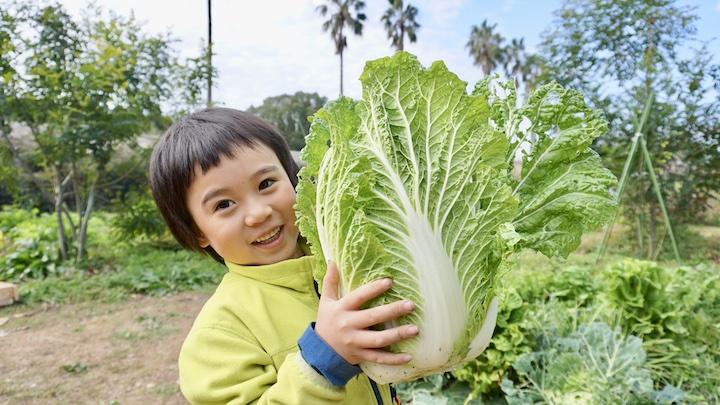 畑キャンプ 白菜収穫