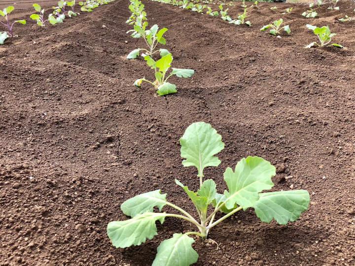 定植したプチヴェールの苗