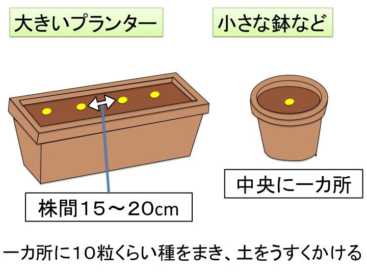 パセリの播種 プランター