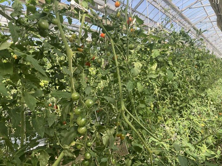 温室ミニトマト