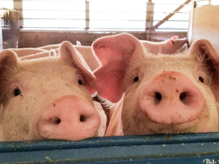 豚肉のブランド力UPへ 農業産出額日本一エリアにおける「田原ポーク」の挑戦