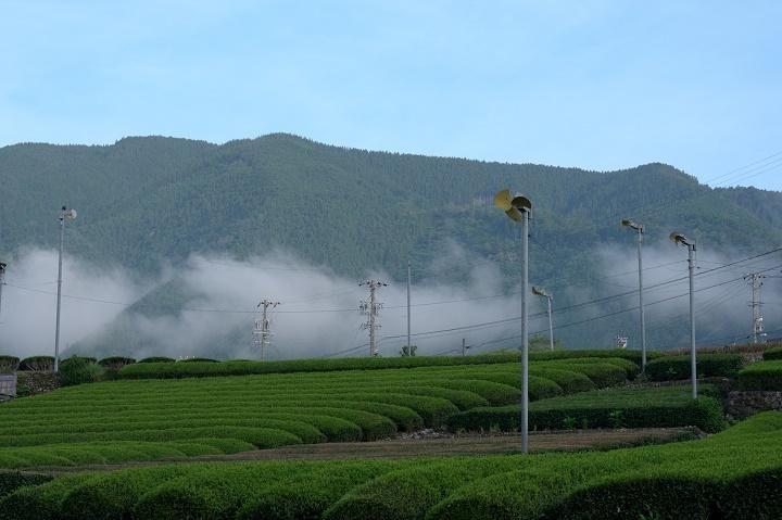 久野協のお茶畑