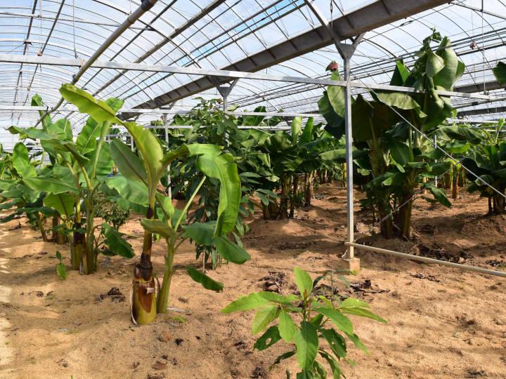 バナナなどが植えられた温室