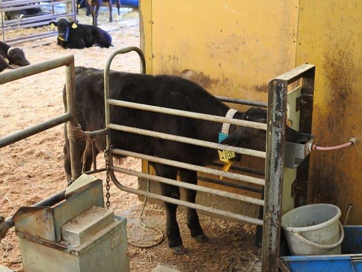 子牛がロボットからミルクを飲んでいるところ