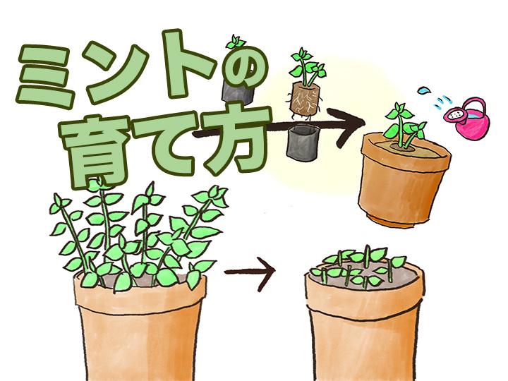 農家が教えるミントの育て方 覚えておきたい「株分け」の方法