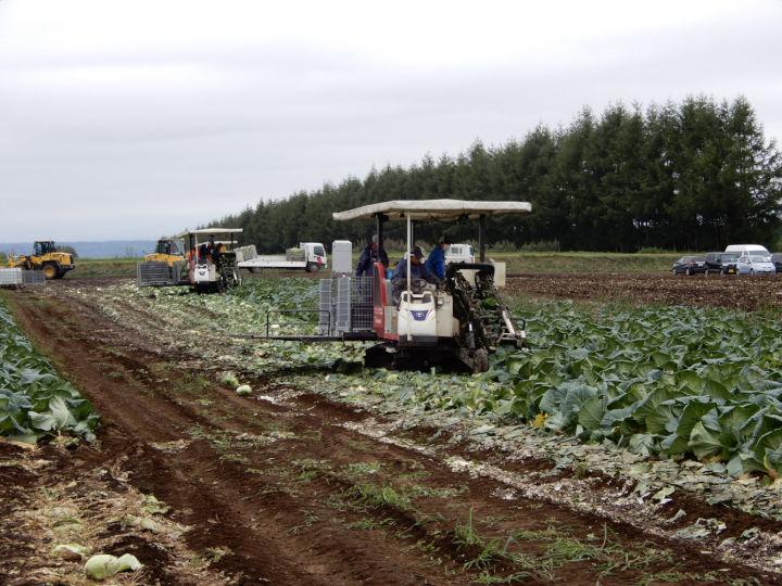 産地に普及しているキャベツの収穫機