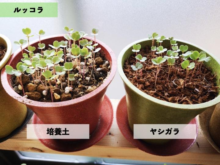 室内でLED栽培したルッコラの写真