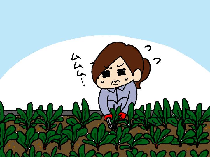 漫画「跡取りまごの百姓日記」【第84話】農大の卒論課題で農業の難しさを知る!