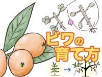 農家が教えるビワの育て方 摘果、袋かけのコツは?