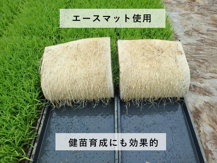 『エースマット』使用による育苗中の苗。育ちがよく根張りがしっかりしています