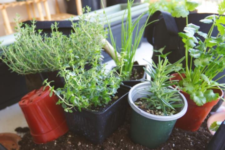 家庭菜園でハーブ栽培
