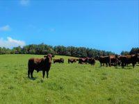 持続可能な畜産を目指して。牧草だけで育つ「北里八雲牛」、北里大学の挑戦に迫る