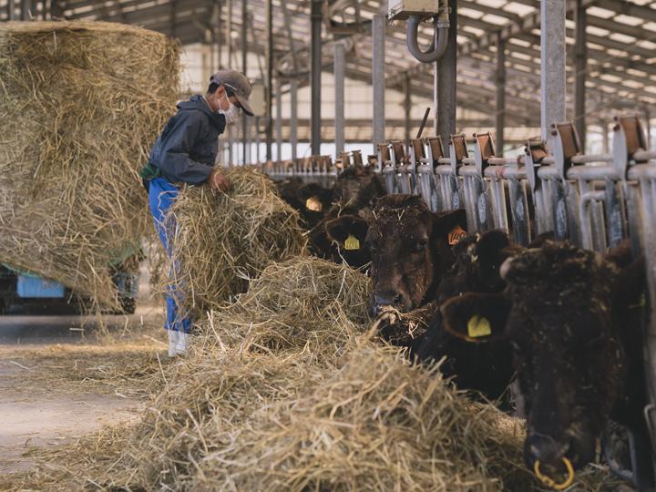 乾燥させた『はやまき18』を食む牛たち