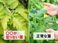 【カゴメも実践】黄色い葉は要注意?トマトの高品質・高収量を目指す光合成のコツとは