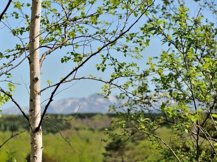 北海道の白樺林