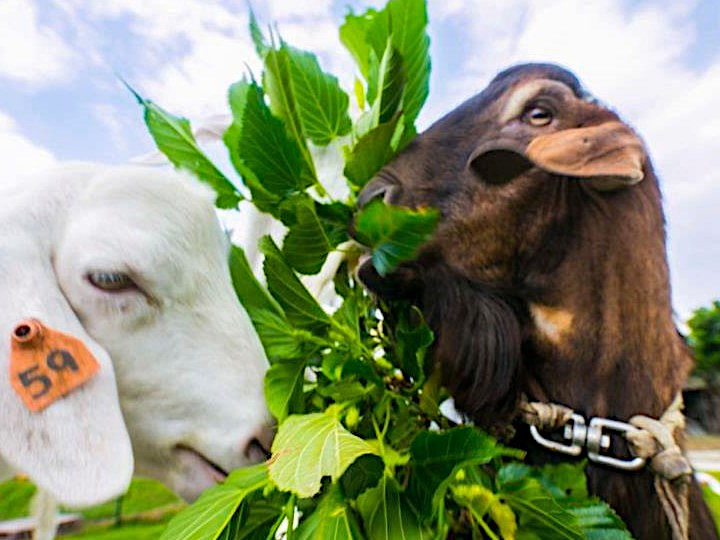 沖縄のヤギ食文化 ヤギ