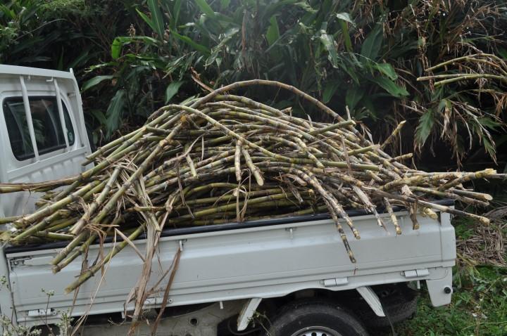 収穫してみたトラックいっぱいのサトウキビ