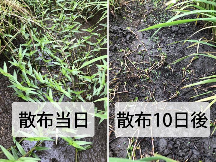 イボクサが一発で枯れた! 直播・移植ともに使える水稲用除草剤が登場