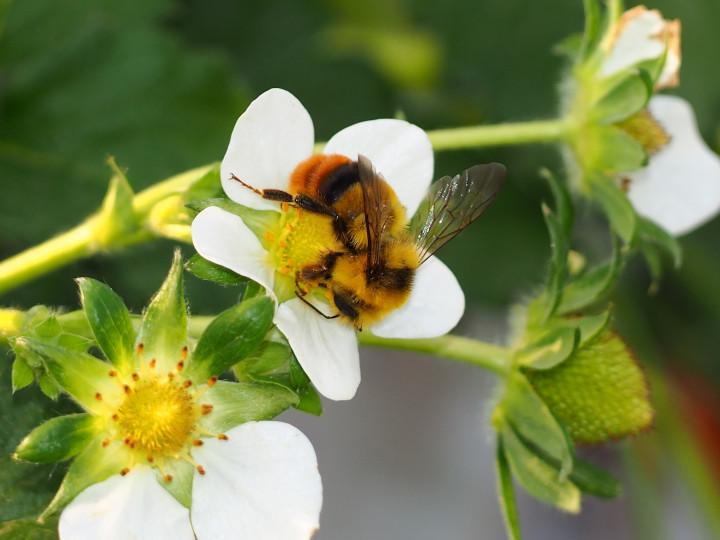 農業の陰の立役者「送粉昆虫」。代表格のマルハナバチ導入で省力化実現!