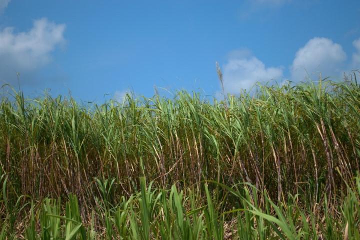 沖縄の重要な産業サトウキビ