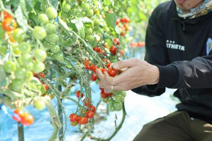 トマトの収穫の仕方