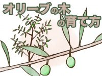農家が教えるオリーブの育て方 剪定や追肥のコツとタイミングとは