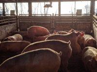 「コスト減」と「良食味」の二兎を追う食品リサイクル業者 自ら飼育するブランド豚が好評