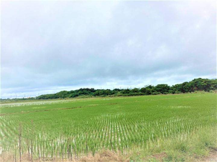 石垣島での稲作の現状  3月の石垣島の田んぼの様子