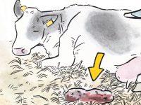 酪農漫画「うしだらけの日々」 第22話 出産後のあれこれ