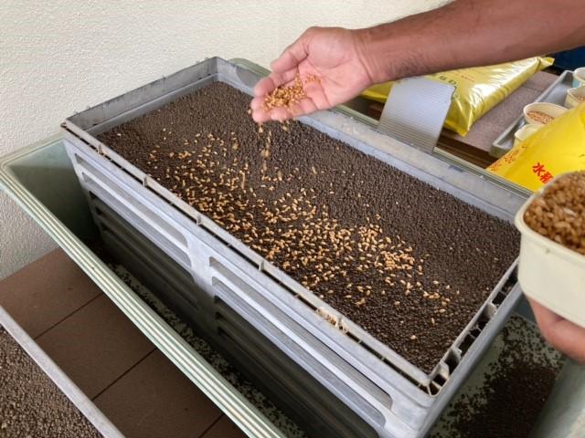 石垣島での稲作の現状  種まき