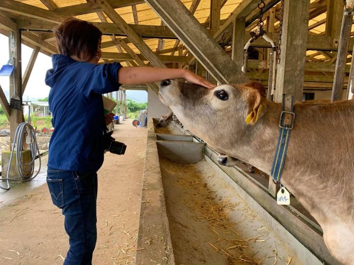 暑い石垣島で放牧酪農を行う コバマツ牛なでる