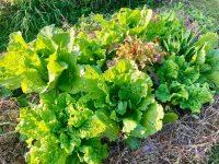 敷くだけで土が良くなる! 雑草マルチのススメ【畑は小さな大自然vol.98】