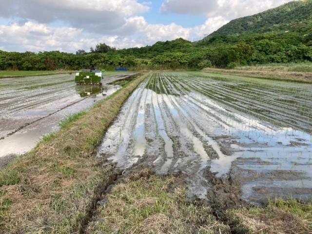 石垣島での稲作の現状  田植え