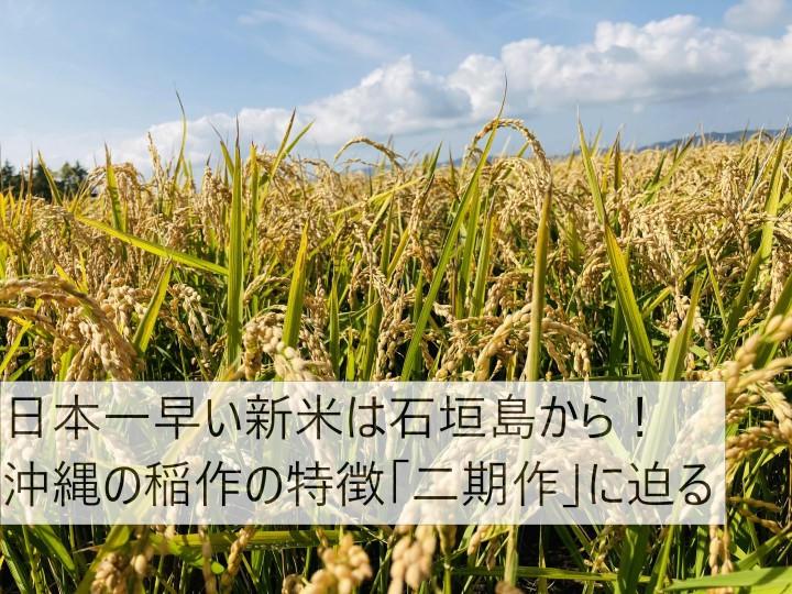 日本一早い新米は石垣島から! 沖縄の稲作の特徴「二期作」に迫る