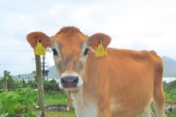 暑い石垣島で放牧酪農 ジャージー仔牛正面