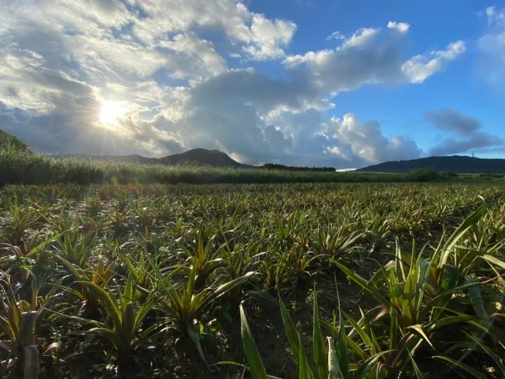 石垣島でないちゃーが2人でパイナップル畑ないちゃー畑1