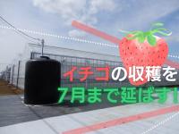 台湾発の遮光カーテンでイチゴの収穫を7月まで延ばす 目指すは冬春と遜色ない品質