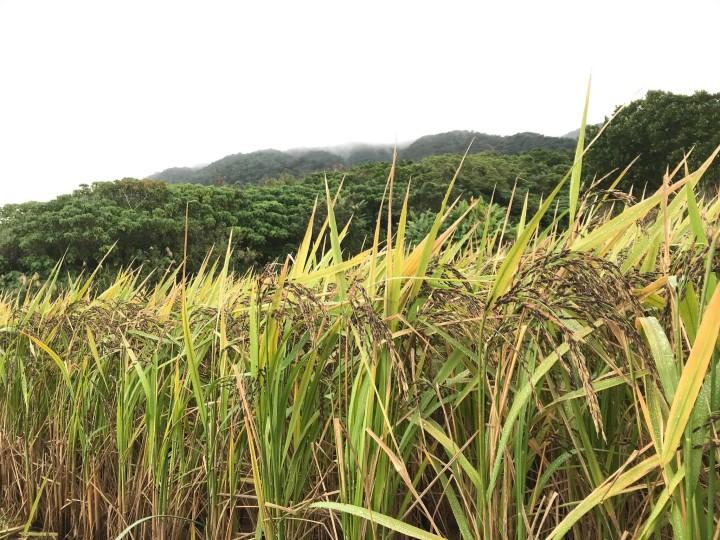 石垣島での稲作の現状  稲穂