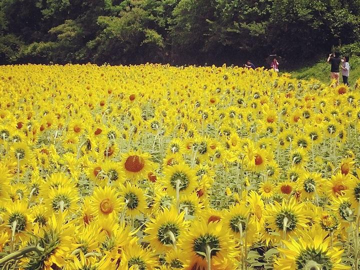 香川県高松市の「香南町ひまわりプロジェクト」のヒマワリ畑
