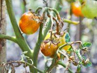 大発生に注意! 梅雨に出やすい病気の対策と予防法【畑は小さな大自然vol.99】