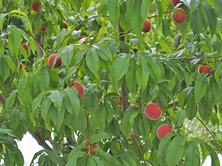 福島県桑折町桃の果樹園