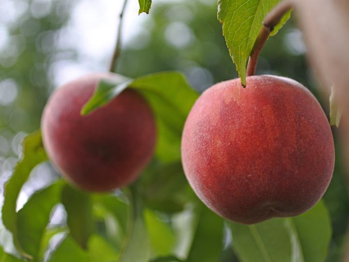 28年連続、献上桃に選出◎福島県桑折町で移住就農した経験者が語る、『農業体験』で学んだこと