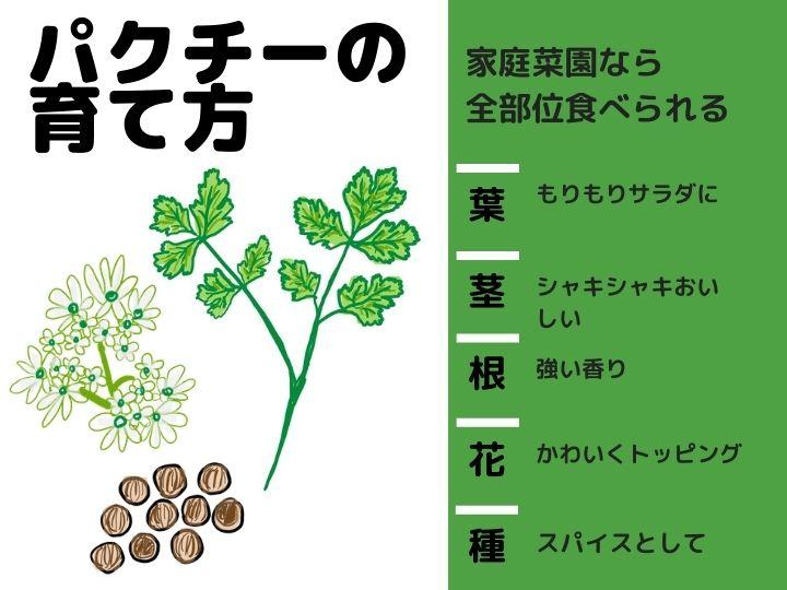 農家が教えるパクチー(香菜)の栽培方法 意外と暑さに弱い? 長く収穫する方法とは?