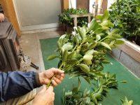 もっと知りたい 年中稼げるシキミ栽培のQ&A